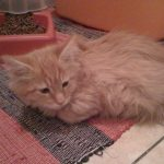 Test chaton maine coon