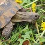 Guide d'achat tortue hermann