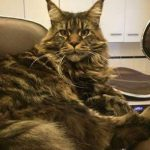 Comparatif adopter un maine coon