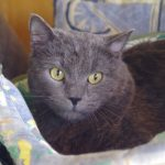Test chat type chartreux