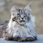 Test chat maine coon