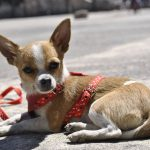 Guide d'achat chiot chihuahua