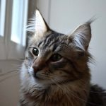 Guide d'achat maine coon
