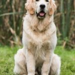 Test vente golden retriever