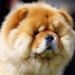 Test chien chow chow