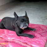 Avis royal canin bouledogue francais